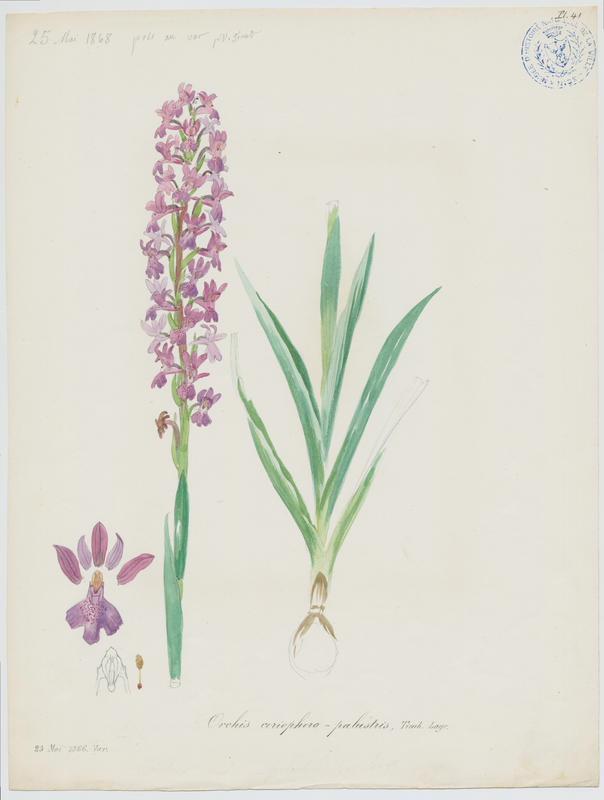 Orchis ; plante à fleurs_0