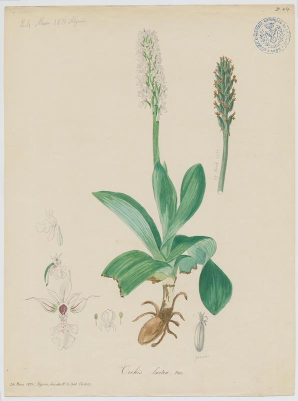 Orchis couleur de lait ; Orchis lacté ; plante à fleurs