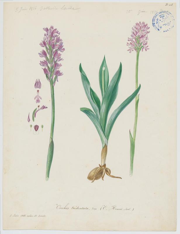 BARLA Jean-Baptiste (attribué à) : Orchis à trois dents, Orchis tridenté, plante à fleurs