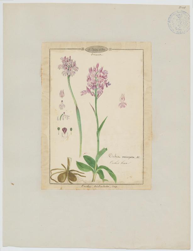 Orchis à trois dents ; Orchis tridenté ; Orchis brun ; plante à fleurs