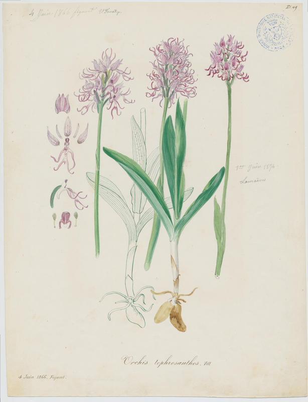 FOSSAT Vincent (aquarelliste, peintre) : Orchis singe, plante à fleurs