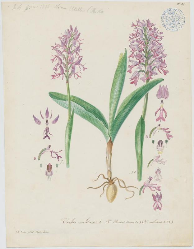 Orchis militaire ; Casque militaire ; Orchis casqué ; plante à fleurs_0