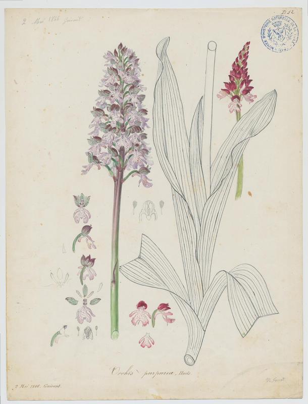 Orchis pourpre ; plante à fleurs_0