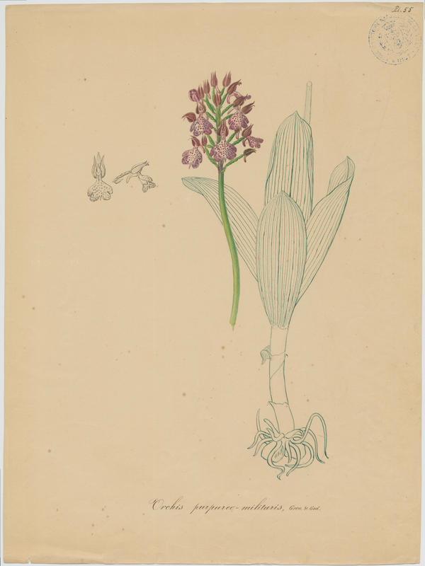 Orchis hybride ; plante à fleurs_0