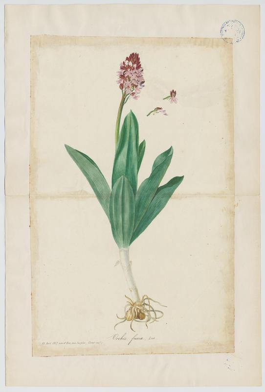 Orchis brun ; plante à fleurs_0