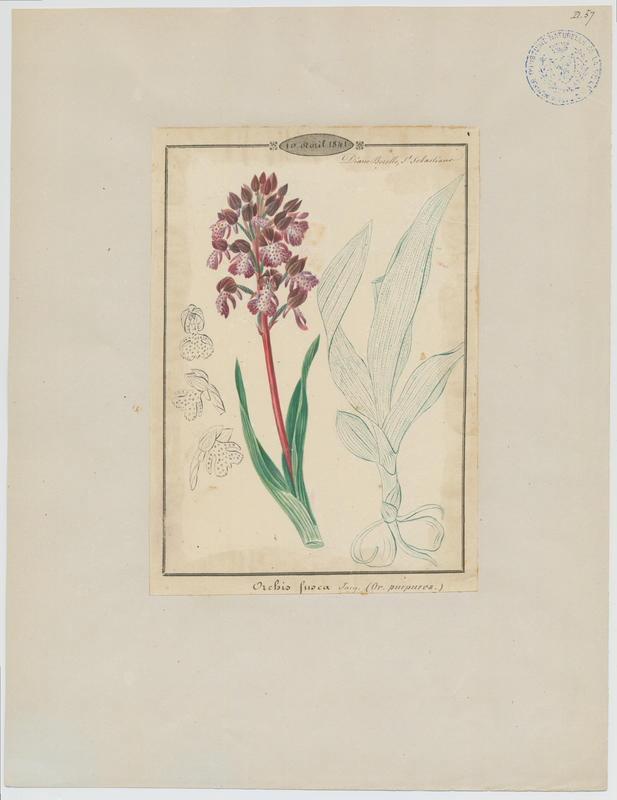 BARLA Jean-Baptiste (attribué à) : Orchis pourpre, plante à fleurs