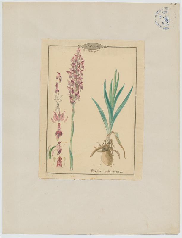 BARLA Jean-Baptiste (attribué à) : Orchis punaise, Orchis à odeur de punaise, plante à fleurs