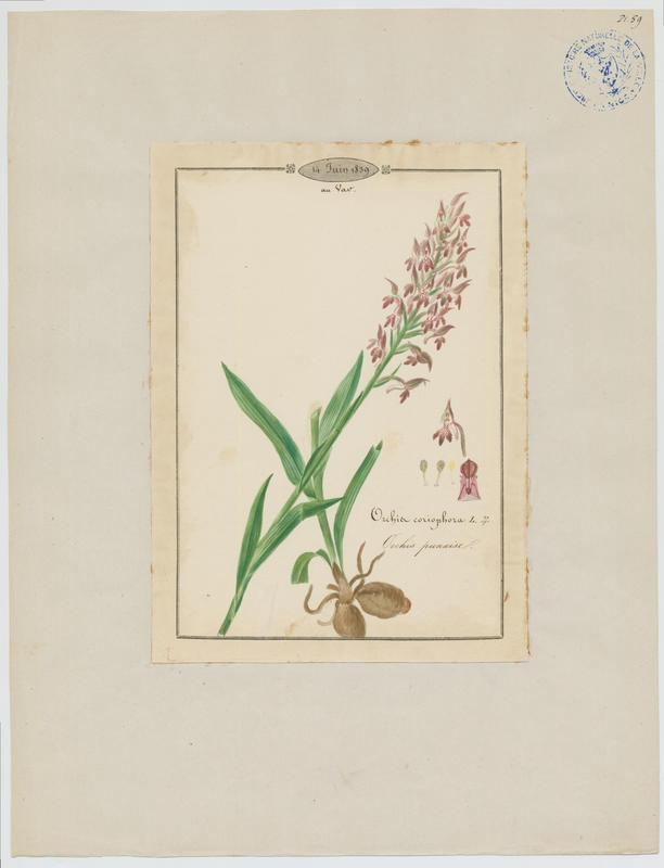 Orchis punaise ; Orchis à odeur de punaise ; plante à fleurs