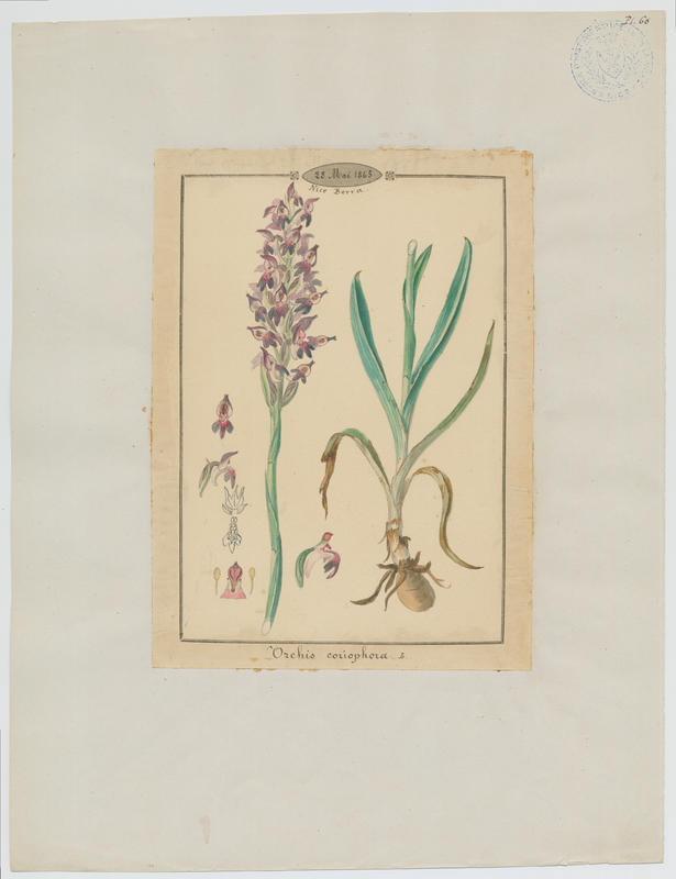 Orchis punaise ; Orchis à odeur de punaise ; plante à fleurs_0