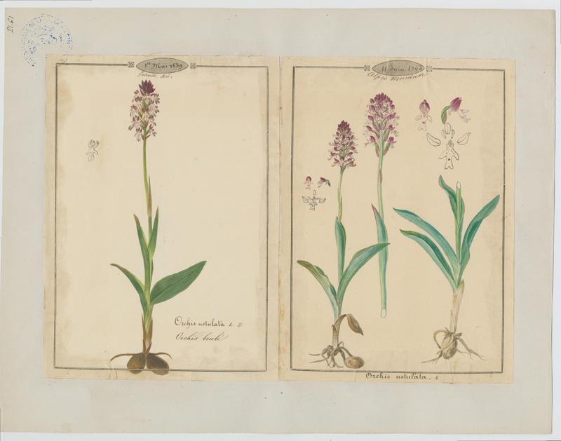 BARLA Jean-Baptiste (attribué à) : Orchis brûlé, plante à fleurs