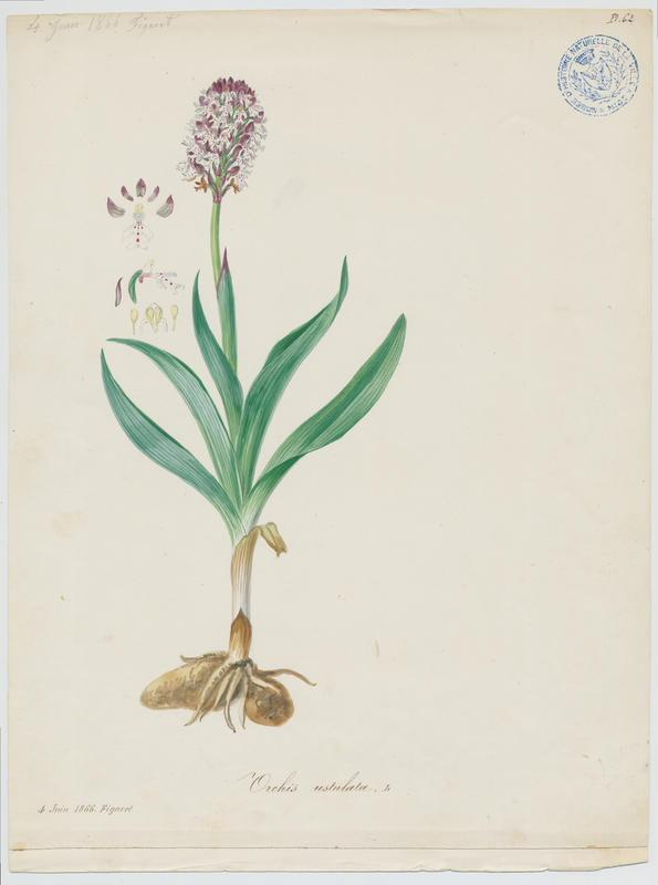 Orchis brûlé ; plante à fleurs_0