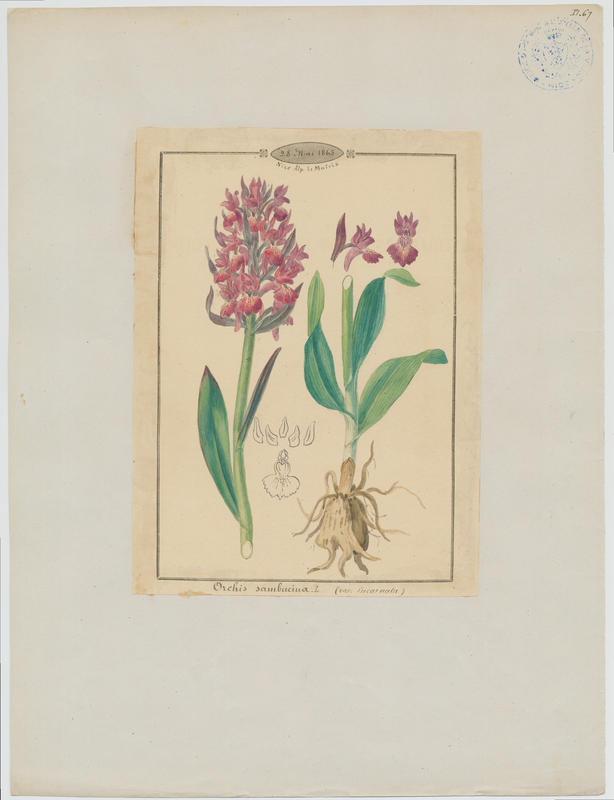 BARLA Jean-Baptiste (attribué à) : Dactylorhize à feuilles larges, Orchis à larges feuilles, plante à fleurs