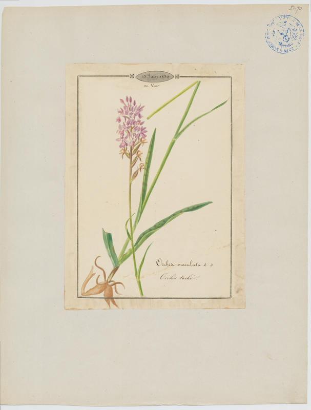 BARLA Jean-Baptiste (attribué à) : Orchis tacheté, Orchis maculé, Orchis taché, Dactylorhize tacheté, plante à fleurs