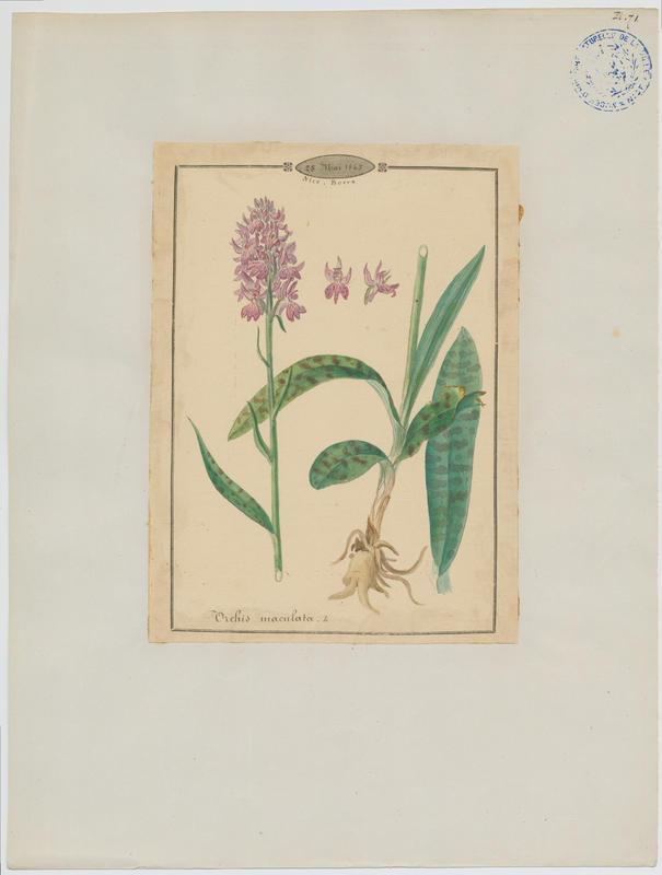 Orchis tacheté, Orchis maculé ; Orchis taché ; Dactylorhize tacheté ; plante à fleurs_0