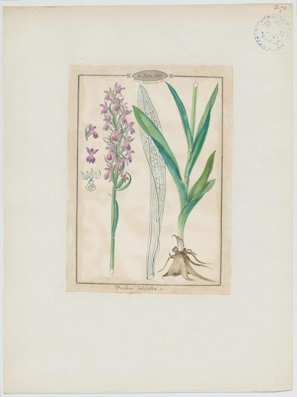 Dactylorhize à feuilles larges ; Orchis à larges feuilles ; plante à fleurs_0