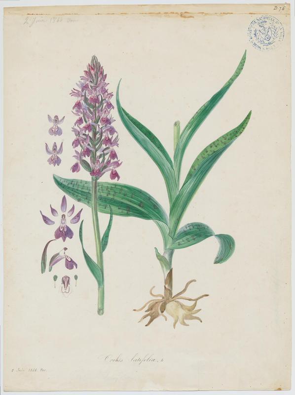 Dactylorhize à feuilles larges ; Orchis à larges feuilles ; plante à fleurs