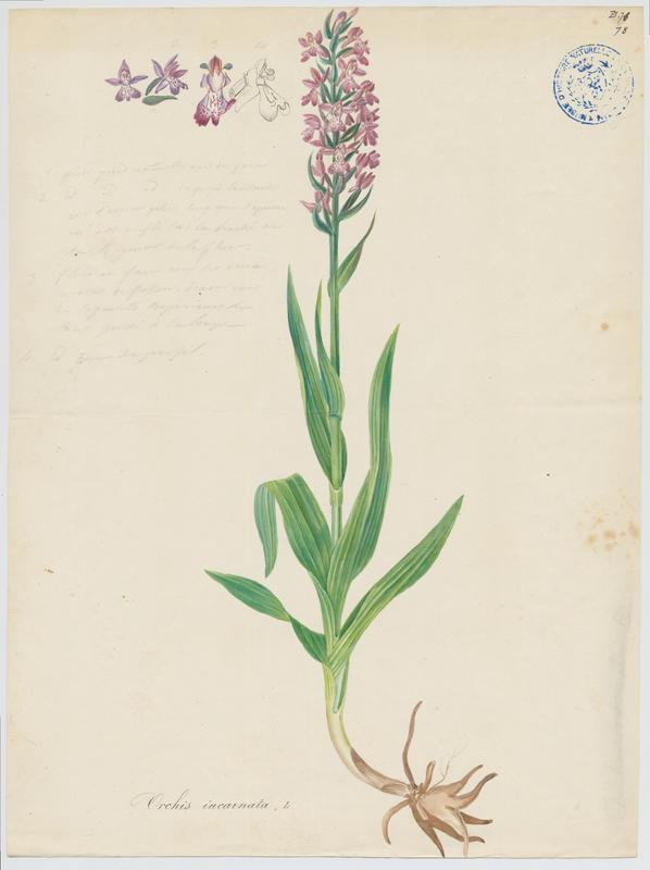 BARLA Jean-Baptiste (attribué à) : Orchis incarnat, Orchis couleur de chair, plante à fleurs