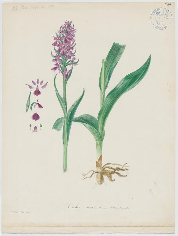 Orchis incarnat ; Orchis couleur de chair ; plante à fleurs_0