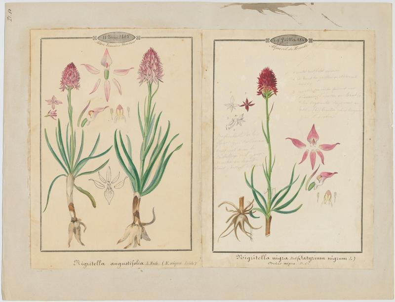 Nigritelle noire ; Orchis vanille ; plante à fleurs_0