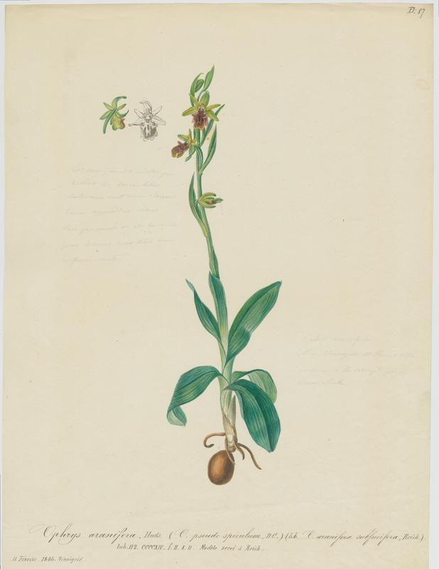 Ophrys araignée ; Oiseau-coquet ; Ophris aranifère ; plante à fleurs_0