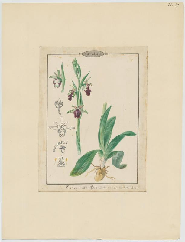 Ophrys araignée ; Oiseau-coquet ; Ophris aranifère ; plante à fleurs