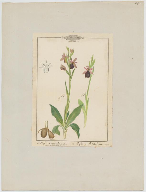 Ophrys de Bertoloni ; Ophrys Aurélia ;plante à fleurs