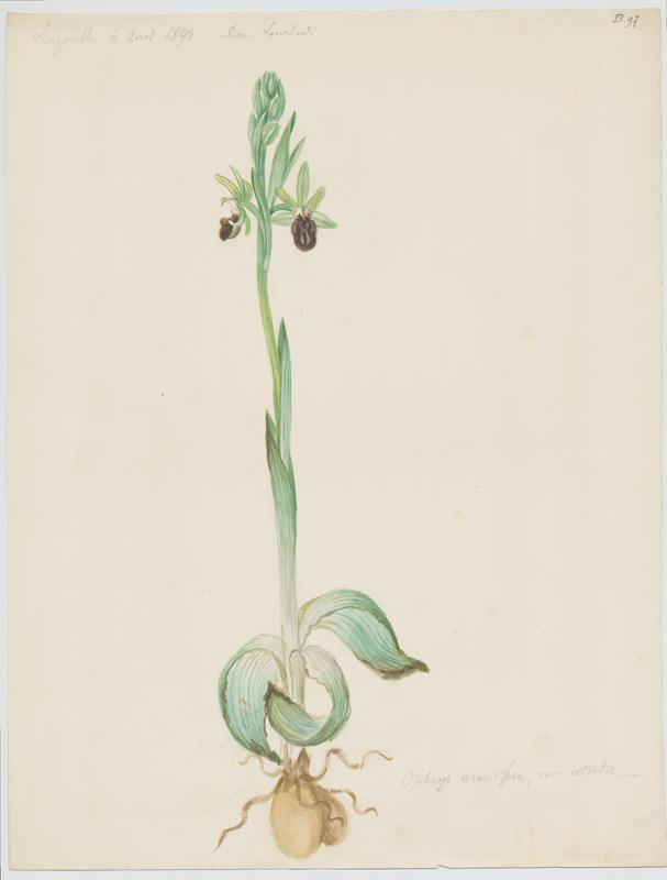 LOMBARDI Charles : Ophrys araignée, Oiseau-coquet, Ophris aranifère, plante à fleurs