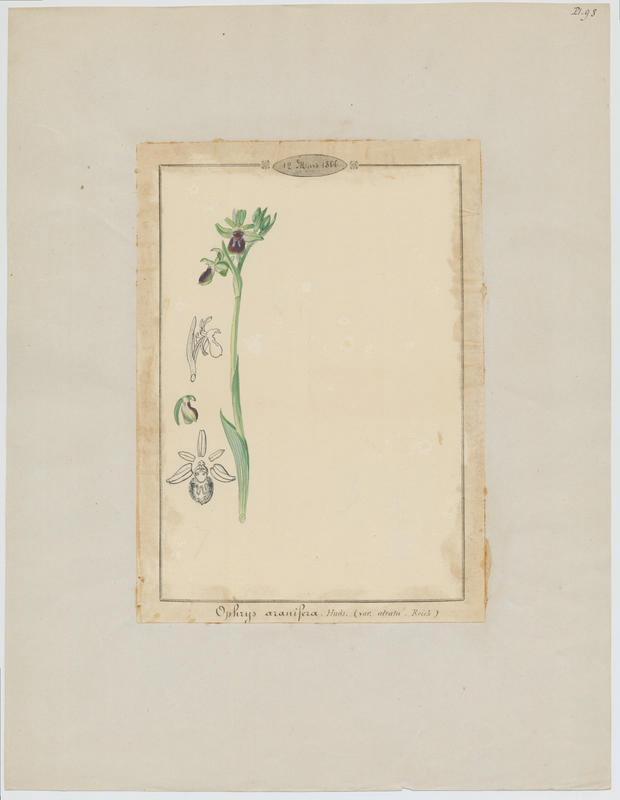BARLA Jean-Baptiste (attribué à) : Ophrys araignée, Oiseau-coquet, Ophris aranifère, plante à fleurs