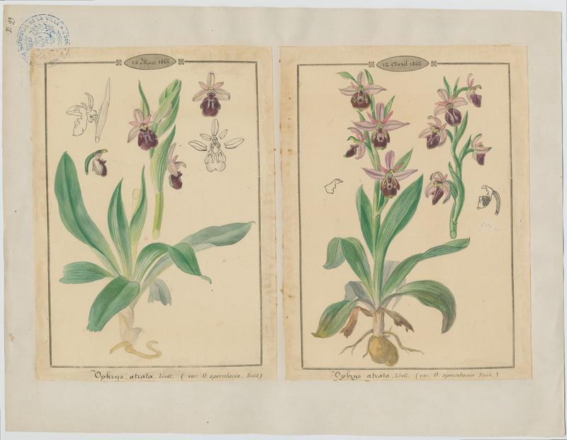 BARLA Jean-Baptiste (attribué à) : Ophrys noirâtre, plante à fleurs