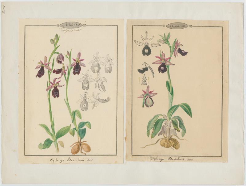 Ophrys de Bertoloni ; Ophrys Aurélia ; plante à fleurs