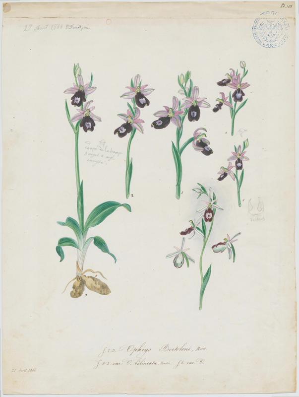 FOSSAT Vincent (aquarelliste, peintre) : Ophrys, plante à fleurs