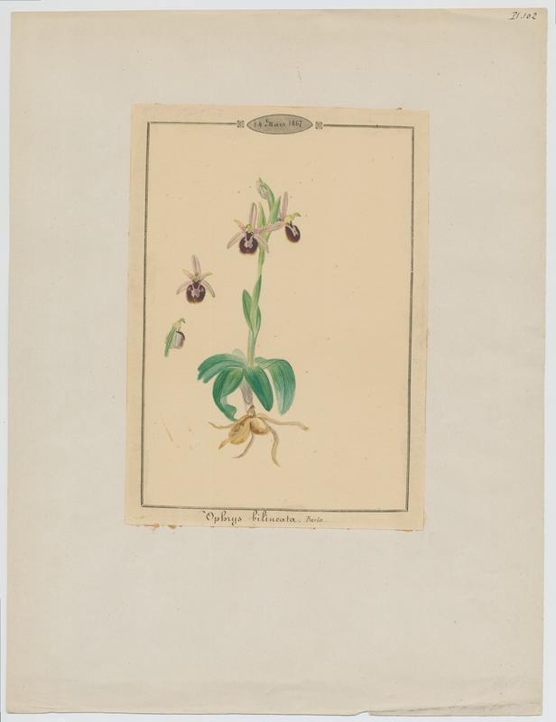 Ophrys ; plante à fleurs_0