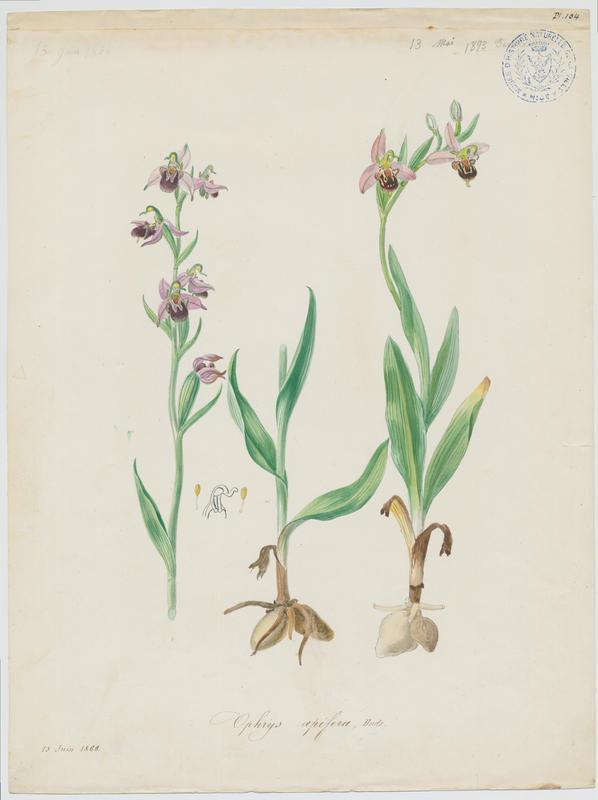 Ophrys abeille ; plante à fleurs_0
