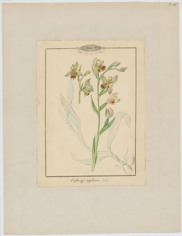 BARLA Jean-Baptiste (attribué à) : Ophrys abeille, plante à fleurs