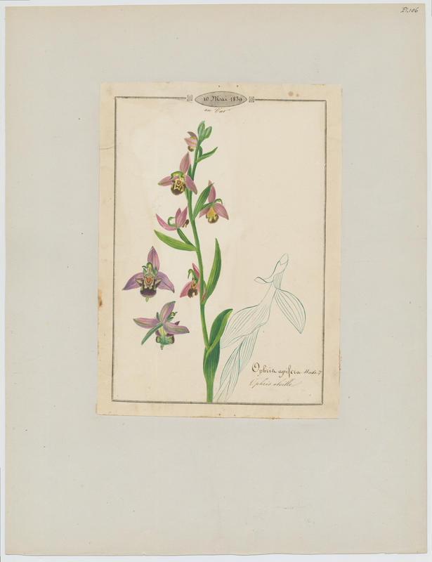 Ophris abeille ; plante à fleurs_0