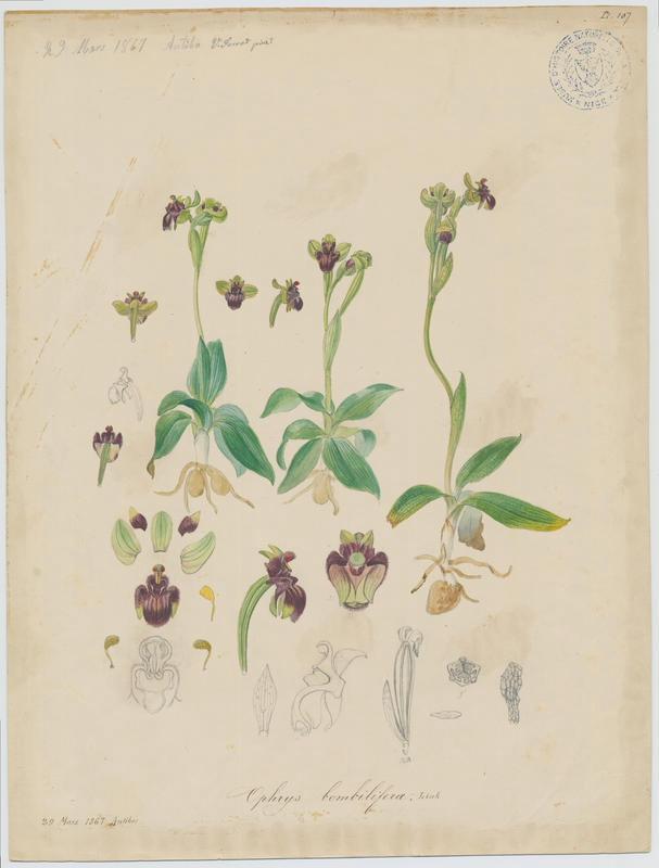FOSSAT Vincent (aquarelliste, peintre) : Ophrys bombyx , plante à fleurs
