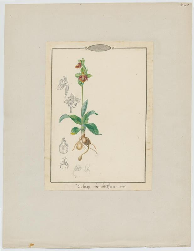 BARLA Jean-Baptiste (attribué à) : Ophrys bombyx , plante à fleurs