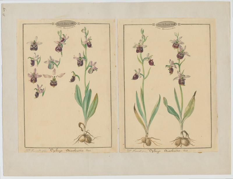 FOSSAT Vincent (aquarelliste, peintre) : Ophrys bourdon, plante à fleurs