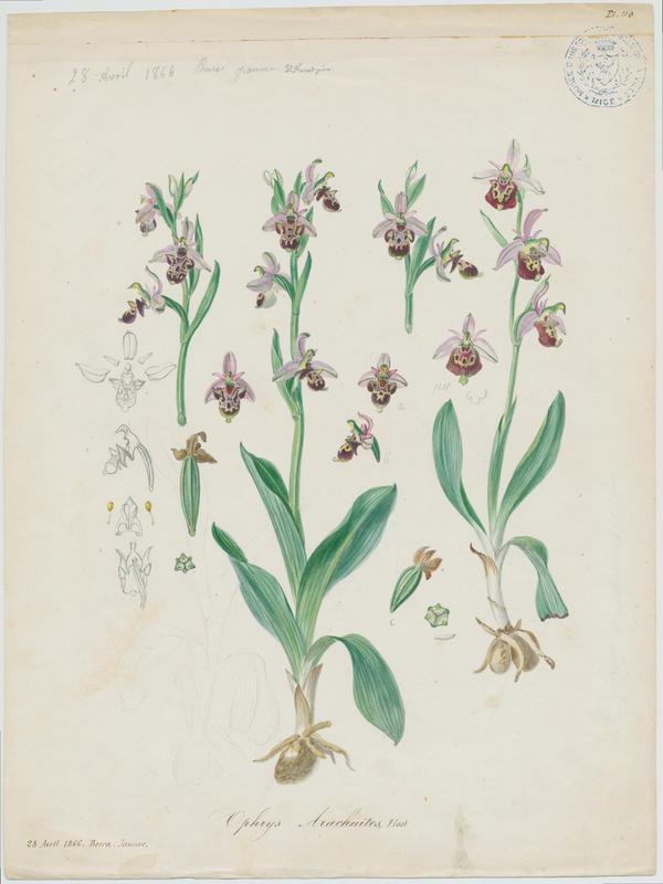 Ophrys bourdon ; plante à fleurs