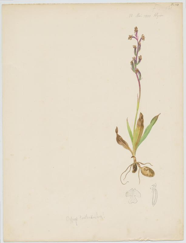 BARLA Jean-Baptiste (attribué à) : Ophrys tenthrède, Ophrys à grandes fleurs, plante à fleurs