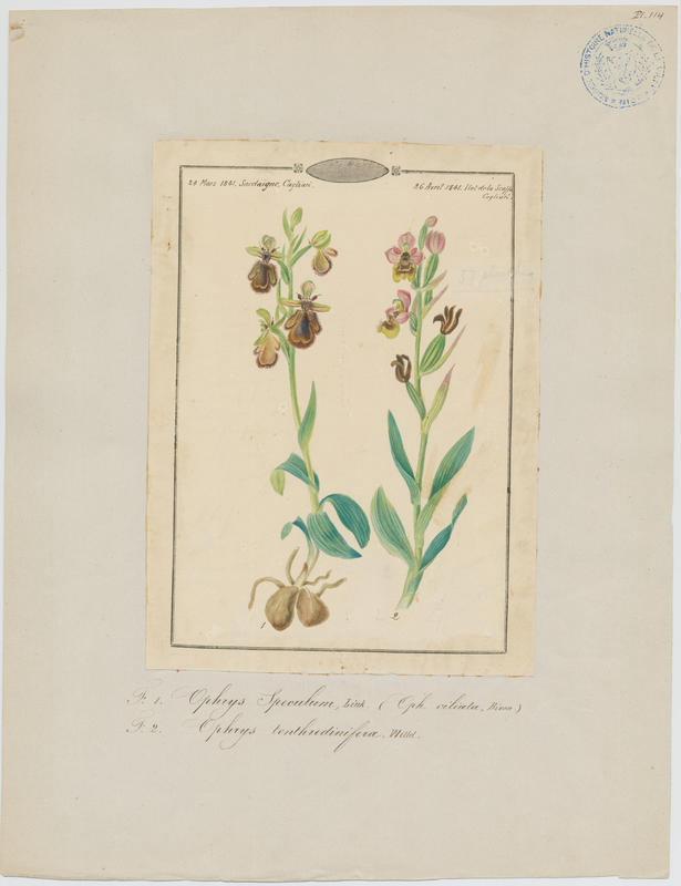 Ophrys tenthrède ; Ophrys à grandes fleurs ; plante à fleurs_0