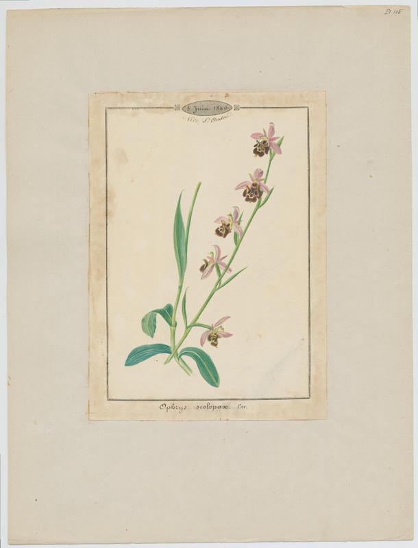 BARLA Jean-Baptiste (attribué à) : Ophrys bécasse, plante à fleurs