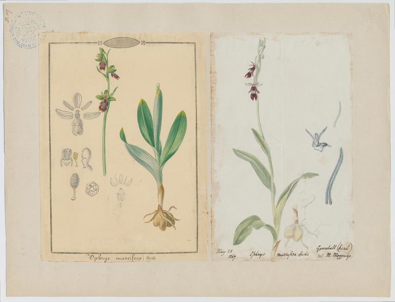 BARLA Jean-Baptiste (attribué à) : Ophrys mouche, plante à fleurs