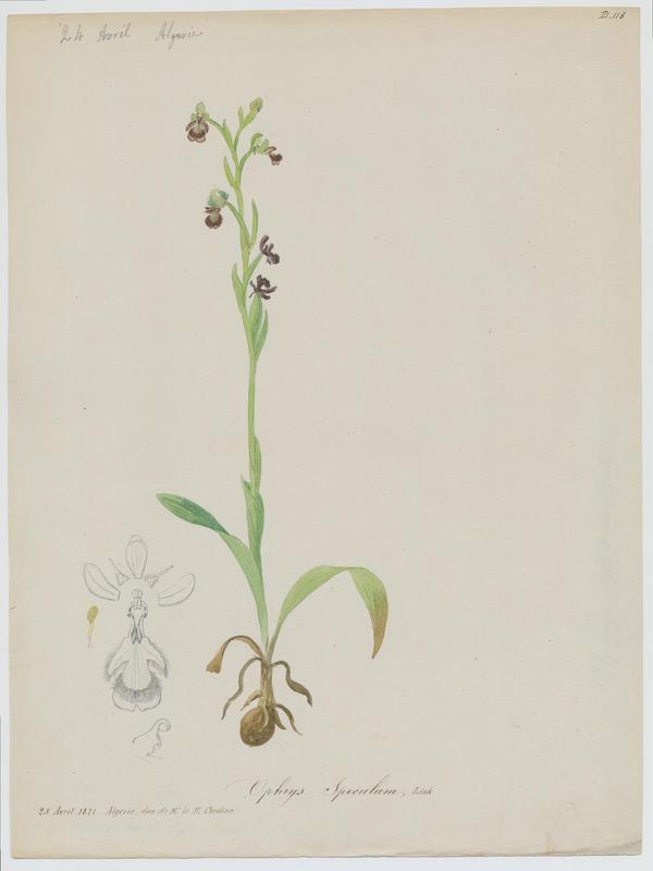 Ophrys miroir ; plante à fleurs_0