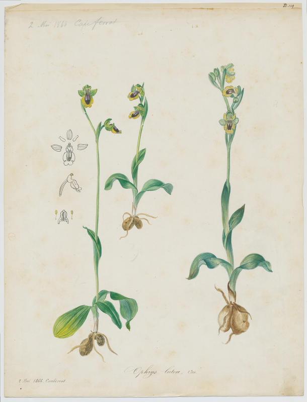 Ophrys jaune ; plante à fleurs_0