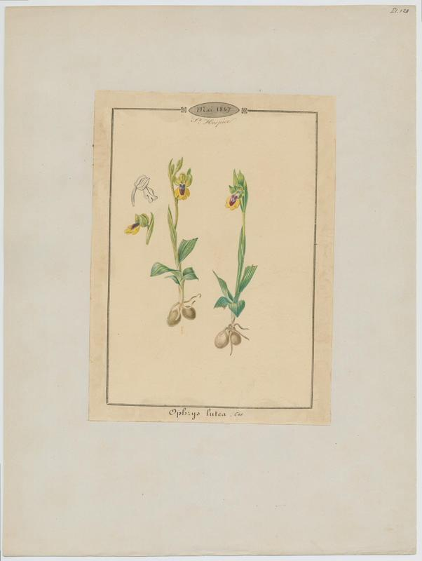BARLA Jean-Baptiste (attribué à) : Ophrys jaune, plante à fleurs