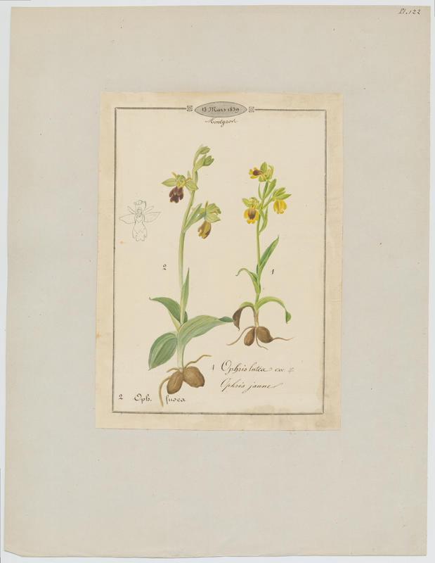 Ophris brun ; plante à fleurs_0