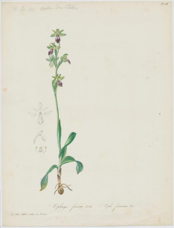 Ophrys brun ; plante à fleurs
