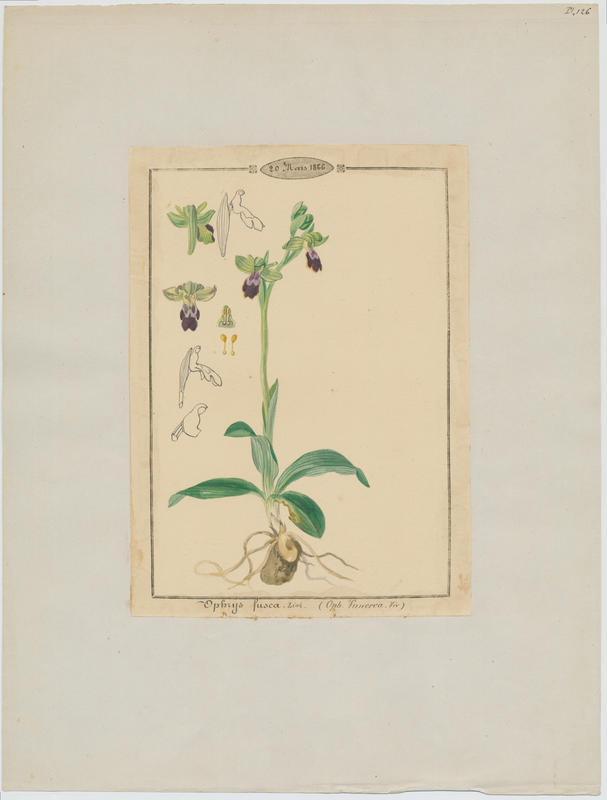 Ophrys brun ; plante à fleurs_0