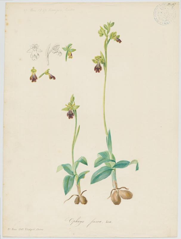 BARLA Jean-Baptiste (attribué à) : Ophrys brun, plante à fleurs
